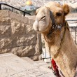 Camel - Jerusalem — Stock Photo