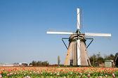 Molino de viento y tulipanes — Stok fotoğraf
