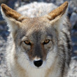 Stock Photo: Coyote in Death Valley