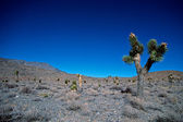 Joshua Tree In Death Valley — Stock Photo