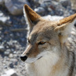Royalty-Free Stock Photo: Coyote #2