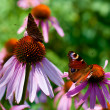 two butterflies on echinacea — Stock Photo