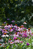 Echinacea in a forest glade — Stock Photo