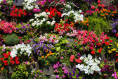 The wall of beautiful flowers — Stock Photo