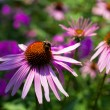 Bumblebee collecting nectar from Echinacea — Stock Photo