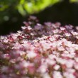 Stock Photo: Pink flowerbed
