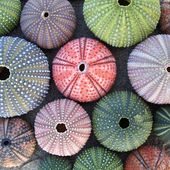 Variety of colorful sea urchins — Stock Photo