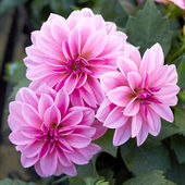 Pink dahlia flowers closeup — Stock Photo
