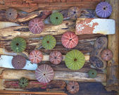Variety of colorful sea urchins on twigs and wood — Stockfoto