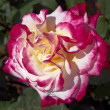 Red and beige rose - Foto de Stock