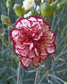 única flor cravo — Foto Stock