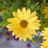 Yellow daisy closeup — Stock Photo