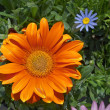 Stock Photo: Orange Gerber and blue daisy