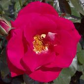 Closeup rosa rojo salvaje — Foto de Stock