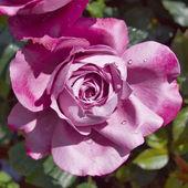Wet dark pink rose — Stock Photo