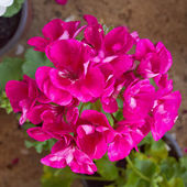 Purple geranium bouquet — Stock Photo