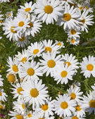 Daisies floral background — Stock Photo
