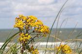 Wild Dune Flowers — Stock Photo