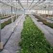 Greenhouse Plants — Stock Photo #11689056