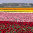 Flowerfields in Holland — Stock Photo