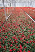 Greenhouse Flowers — Stock Photo