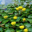 Yellow waterlilies in pond - Stock Photo