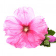 Flowers /Althaea officinalis/ — Stock Photo