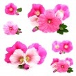 Stock Photo: Flowers /Althaea officinalis/