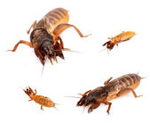 Mole cricket — Stock Photo