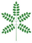 Ramita de acacia — Vector de stock