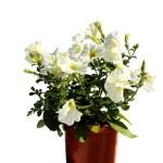 Garden flower in flowerpot - surfinia — Stock Photo #11427919