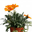 Stock Photo: Orange garden flower in flowerpot