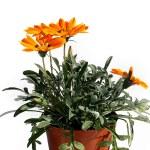 Orange garden flower in flowerpot — Stock Photo