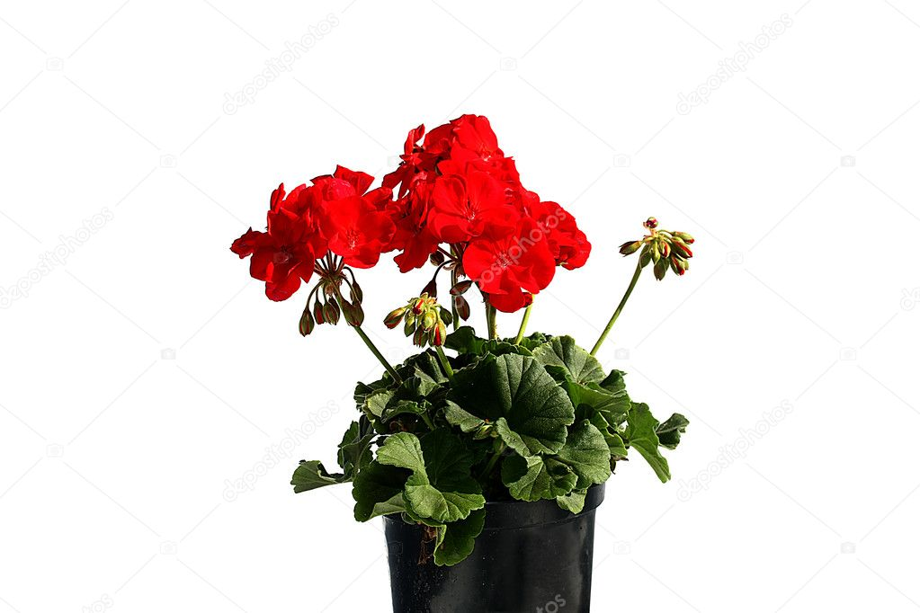 Red garden flower in flowerpot - geranium — Stock Photo #11427934