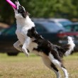 Stock Photo: Dog Lands After Catching Frisbee
