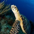 Close Up of Hawksbill Turtle — Stock Photo #11436282
