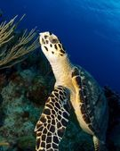 Close Up of Hawksbill Turtle — Stock Photo