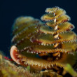 Christmas Tree Worms, Macro — Stock Photo #11538725