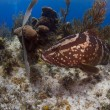 Nassau Grouper of Little Cayman - Stock Photo