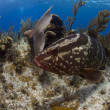 Nassau Grouper posing - Stock Photo