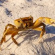 Foto Stock: Crab defending