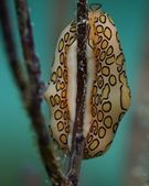 Flamingo Tongue — Stock Photo
