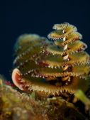 Christmas Tree Worms, Macro — Stock Photo
