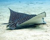 Spotted Eagle Ray (Aetobatus narinari) feeding — Stock Photo