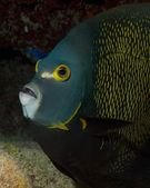 Portrait of French Angelfish — Стоковое фото