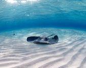 Southern Atlantic Stingray resting — Stock Photo