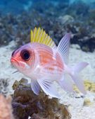 Squirrelfish — Stock Photo