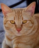 Ginger cat — Stock Photo