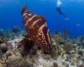 Grouper and diver — Stock Photo