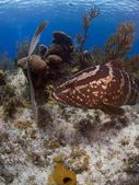 Nassau Grouper of Little Cayman — Stock Photo